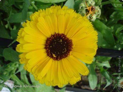 Цветы моего двора фото 22