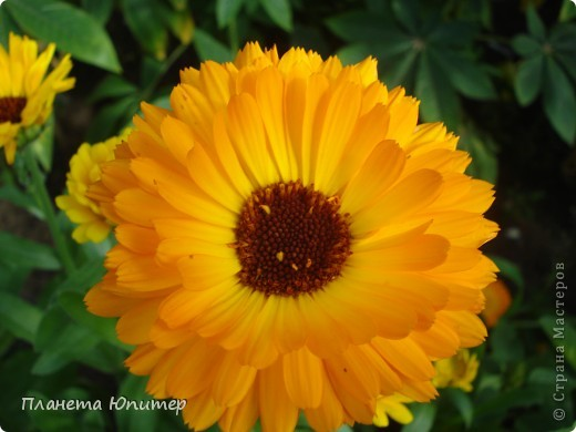 Цветы моего двора фото 23