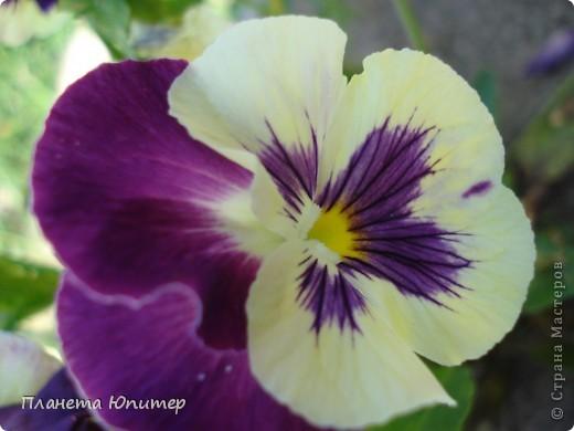 Цветы моего двора фото 25