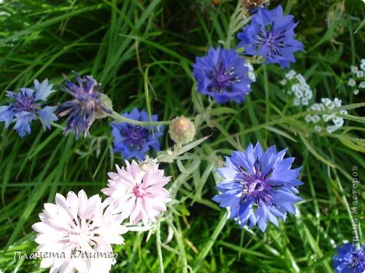 Цветы моего двора фото 31