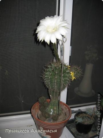 Добрый вечер, девочки! Хочу поделиться с вами своей радостью. У меня зацвел кактус. Вот он красавец. фото 2