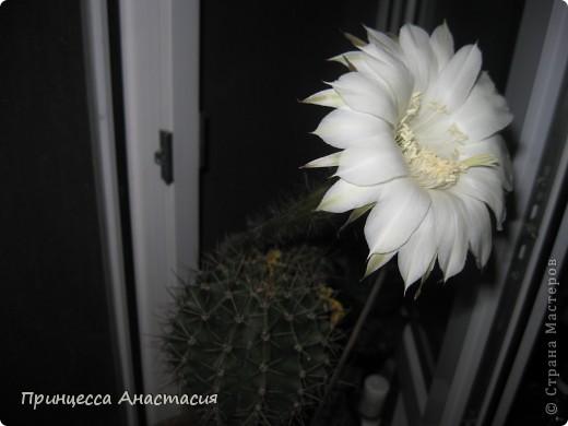 Добрый вечер, девочки! Хочу поделиться с вами своей радостью. У меня зацвел кактус. Вот он красавец. фото 3