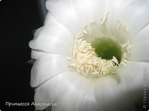 Добрый вечер, девочки! Хочу поделиться с вами своей радостью. У меня зацвел кактус. Вот он красавец. фото 5