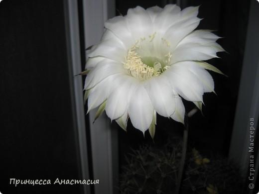 Добрый вечер, девочки! Хочу поделиться с вами своей радостью. У меня зацвел кактус. Вот он красавец. фото 4