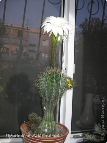Добрый вечер, девочки! Хочу поделиться с вами своей радостью. У меня зацвел кактус. Вот он красавец. фото 1