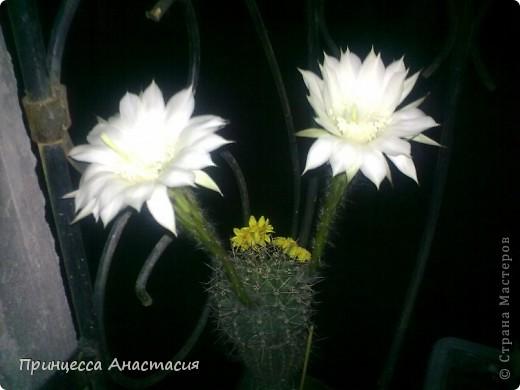 Добрый вечер, девочки! Хочу поделиться с вами своей радостью. У меня зацвел кактус. Вот он красавец. фото 6
