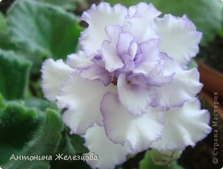 Предлагаю полюбоваться цветением моих фиалочек. Вот такая она красавица в полном цветении. фото 25
