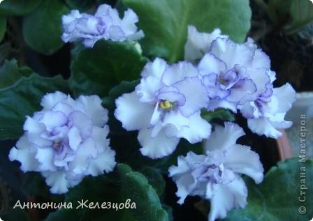 Предлагаю полюбоваться цветением моих фиалочек. Вот такая она красавица в полном цветении. фото 26
