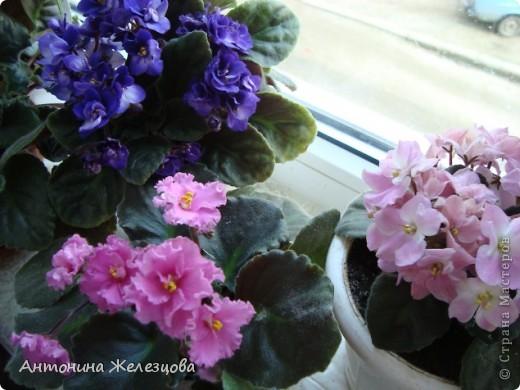 Предлагаю полюбоваться цветением моих фиалочек. Вот такая она красавица в полном цветении. фото 27