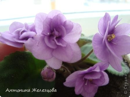 Предлагаю полюбоваться цветением моих фиалочек. Вот такая она красавица в полном цветении. фото 28