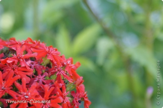 Всем Привет! Недавно я была у своей тёти на даче. Она выращивает всевозможные цветы, ягоды, овощи, фрукты, травы. И все они настолько прекрасны, что мне захотелось сделать фоторепортаж!        Очень красивая красная роза! Неправдали??? фото 9