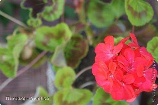 Всем Привет! Недавно я была у своей тёти на даче. Она выращивает всевозможные цветы, ягоды, овощи, фрукты, травы. И все они настолько прекрасны, что мне захотелось сделать фоторепортаж!        Очень красивая красная роза! Неправдали??? фото 11