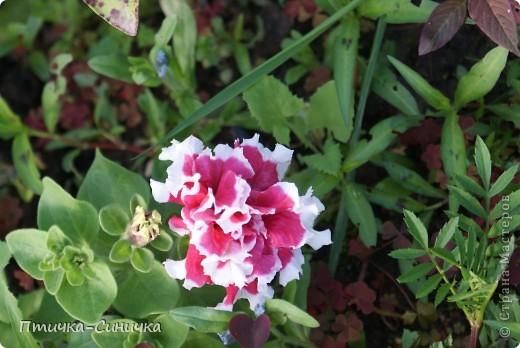 Всем Привет! Недавно я была у своей тёти на даче. Она выращивает всевозможные цветы, ягоды, овощи, фрукты, травы. И все они настолько прекрасны, что мне захотелось сделать фоторепортаж!        Очень красивая красная роза! Неправдали??? фото 12