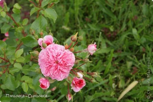 Всем Привет! Недавно я была у своей тёти на даче. Она выращивает всевозможные цветы, ягоды, овощи, фрукты, травы. И все они настолько прекрасны, что мне захотелось сделать фоторепортаж!        Очень красивая красная роза! Неправдали??? фото 17