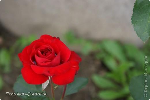 Всем Привет! Недавно я была у своей тёти на даче. Она выращивает всевозможные цветы, ягоды, овощи, фрукты, травы. И все они настолько прекрасны, что мне захотелось сделать фоторепортаж!        Очень красивая красная роза! Неправдали??? фото 1