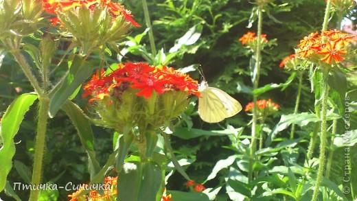 Всем Привет! Недавно я была у своей тёти на даче. Она выращивает всевозможные цветы, ягоды, овощи, фрукты, травы. И все они настолько прекрасны, что мне захотелось сделать фоторепортаж!        Очень красивая красная роза! Неправдали??? фото 6