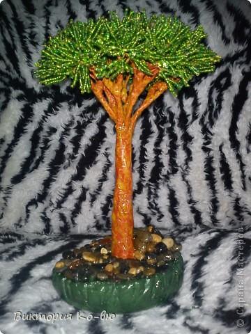 Название этого дерево происходит от его свойств, выпускать красный сок и смолу.  фото 1