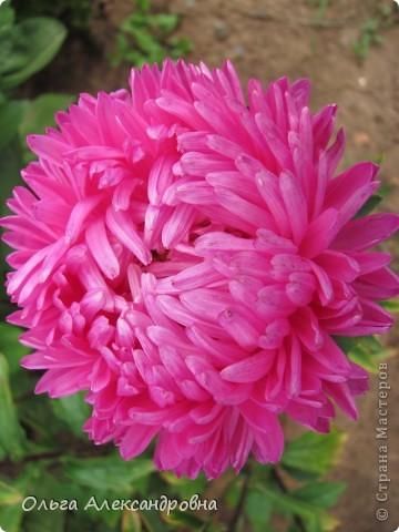 Вот и зацвели мои не меньше любимые, чем лилии, гладиолусы. С удовольствием хочу показать моих гордых красавцев. Приятного просмотра! фото 20