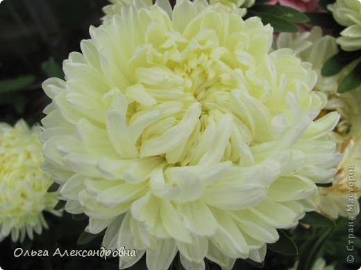 Вот и зацвели мои не меньше любимые, чем лилии, гладиолусы. С удовольствием хочу показать моих гордых красавцев. Приятного просмотра! фото 21