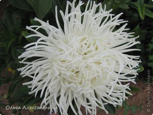 Вот и зацвели мои не меньше любимые, чем лилии, гладиолусы. С удовольствием хочу показать моих гордых красавцев. Приятного просмотра! фото 22