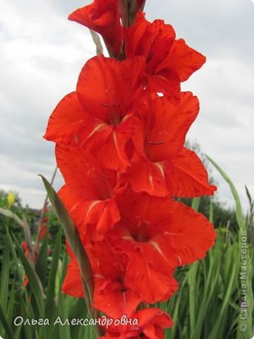 Вот и зацвели мои не меньше любимые, чем лилии, гладиолусы. С удовольствием хочу показать моих гордых красавцев. Приятного просмотра! фото 1
