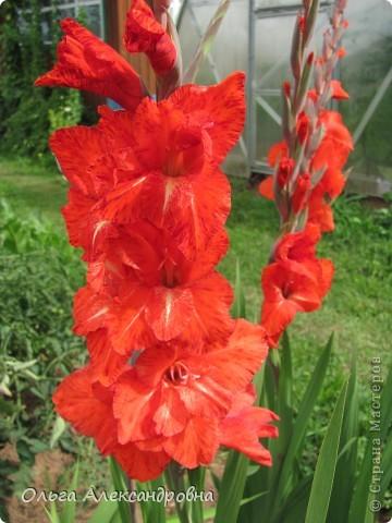 Вот и зацвели мои не меньше любимые, чем лилии, гладиолусы. С удовольствием хочу показать моих гордых красавцев. Приятного просмотра! фото 2