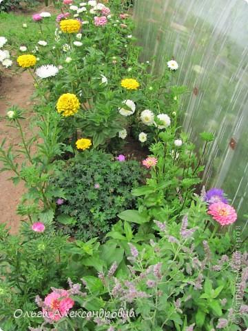 Вот и зацвели мои не меньше любимые, чем лилии, гладиолусы. С удовольствием хочу показать моих гордых красавцев. Приятного просмотра! фото 19