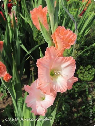 Вот и зацвели мои не меньше любимые, чем лилии, гладиолусы. С удовольствием хочу показать моих гордых красавцев. Приятного просмотра! фото 3