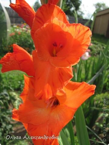 Вот и зацвели мои не меньше любимые, чем лилии, гладиолусы. С удовольствием хочу показать моих гордых красавцев. Приятного просмотра! фото 5