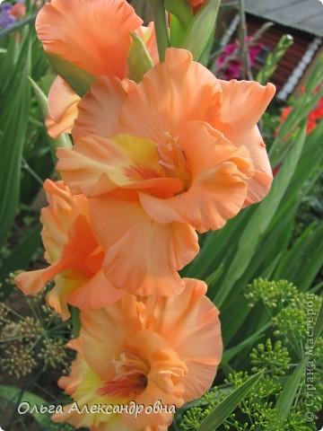 Вот и зацвели мои не меньше любимые, чем лилии, гладиолусы. С удовольствием хочу показать моих гордых красавцев. Приятного просмотра! фото 7