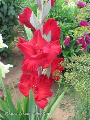 Вот и зацвели мои не меньше любимые, чем лилии, гладиолусы. С удовольствием хочу показать моих гордых красавцев. Приятного просмотра! фото 9