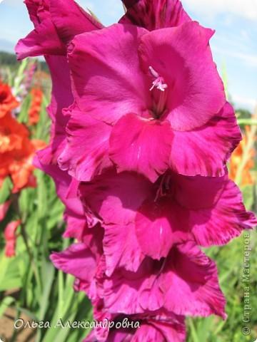 Вот и зацвели мои не меньше любимые, чем лилии, гладиолусы. С удовольствием хочу показать моих гордых красавцев. Приятного просмотра! фото 14
