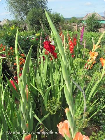 Вот и зацвели мои не меньше любимые, чем лилии, гладиолусы. С удовольствием хочу показать моих гордых красавцев. Приятного просмотра! фото 15
