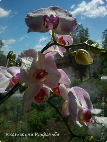 """Мне давно приглянулся цветок - орхидея. На данный момент их очень легко купить и уход за ними не составляет особых усилий, но каждый у кого есть орхидея знает об ее не очень красивой стороне - пластиковый горшок. Красота и стойкость этого цветка поражают , но """"прострелянный """" горшок портит вид. В магазинах продают красивые стеклянные горшки, некоторые выращивают орхидеи в них, но у меня как - то не сложилось со стеклом. От туда плохо испаряется влага и корни гниют. Негативный опыт вернул меня к пластику. фото 1"""