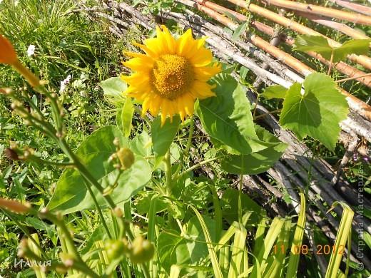 Лето это маленькая жизнь. И вот я хочу поделиться с вами своей маленькой летней жизнью. И конечно первые это мои маленькие солнышки. фото 19