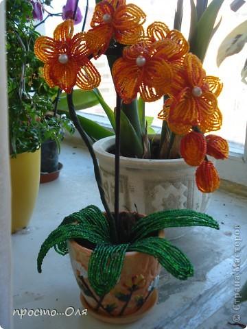 Моя первая орхидея фото 3