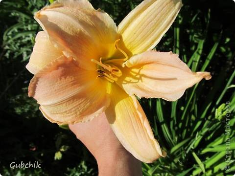 Гордость моего сада! Лилейники! фото 4