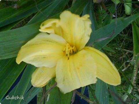 Гордость моего сада! Лилейники! фото 6