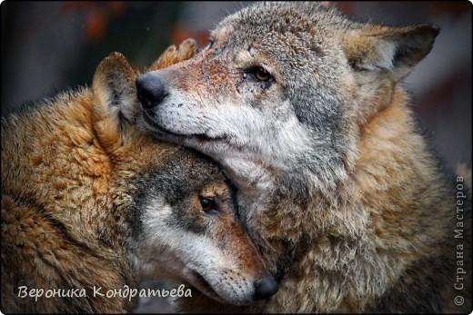 Волк и волчица картинки  olpicturesru