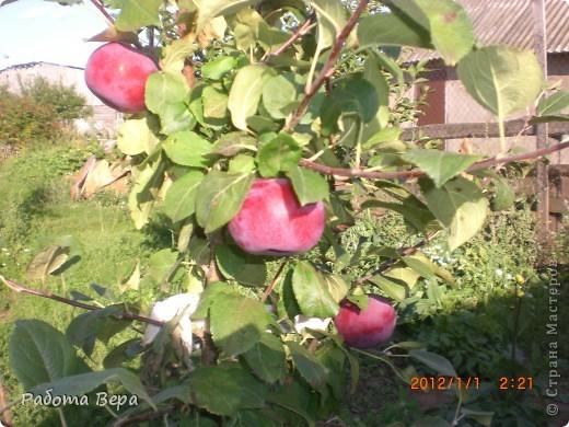 Здравствуйте все мастера и мастерицы! Приглашаю вас прогуляться по саду. Все фрукты спеют, вокруг красота! Всё это, мы с моим супругом вырастили сами. Желаю всем приятного просмотра, хорошего настроения!                                                                      фото 13