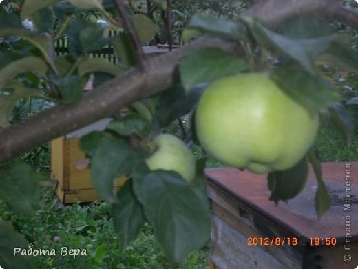 Здравствуйте все мастера и мастерицы! Приглашаю вас прогуляться по саду. Все фрукты спеют, вокруг красота! Всё это, мы с моим супругом вырастили сами. Желаю всем приятного просмотра, хорошего настроения!                                                                      фото 3
