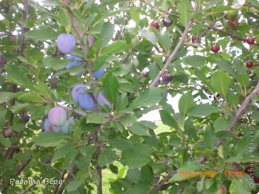 Здравствуйте все мастера и мастерицы! Приглашаю вас прогуляться по саду. Все фрукты спеют, вокруг красота! Всё это, мы с моим супругом вырастили сами. Желаю всем приятного просмотра, хорошего настроения!                                                                      фото 21