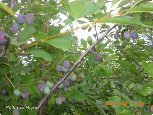 Здравствуйте все мастера и мастерицы! Приглашаю вас прогуляться по саду. Все фрукты спеют, вокруг красота! Всё это, мы с моим супругом вырастили сами. Желаю всем приятного просмотра, хорошего настроения!                                                                      фото 20