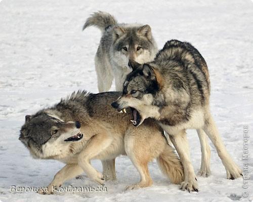 Попробуем нарисовать вот таких волков гуашью?  У меня это первый эксперимент, не судите строго...) В этой картине я немного поиграю с положением хвостов, ну и немного лап.) фото 1
