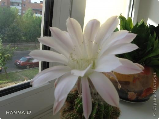 Сегодня ночью у меня расцвел кактус.Такое случается раз в год. Цветок недолговечный, к вечеру у же отцветет, но зато какой красивый, а аромат...... фото 2