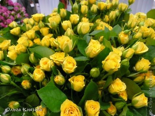 Здесь будут, в основном,  розы фото 11
