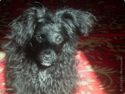 Вот таким малепусеньким щеночком Роми( полное имя Андромеда) попала в наш дом. фото 13