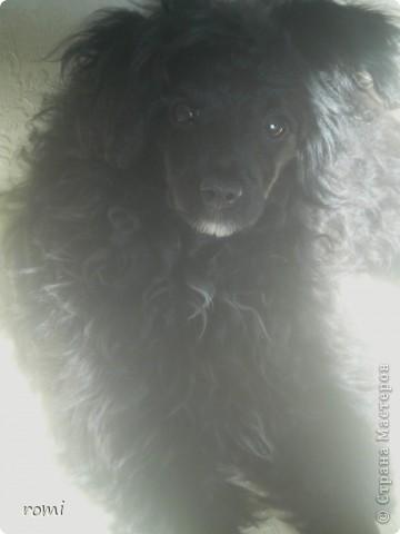Вот таким малепусеньким щеночком Роми( полное имя Андромеда) попала в наш дом. фото 12