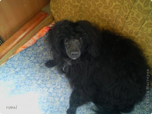 Вот таким малепусеньким щеночком Роми( полное имя Андромеда) попала в наш дом. фото 9