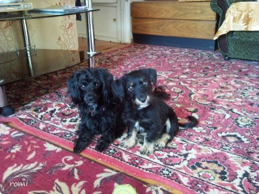 Вот таким малепусеньким щеночком Роми( полное имя Андромеда) попала в наш дом. фото 17